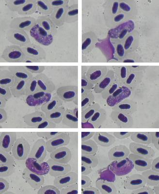 Haemoproteus borgesi
