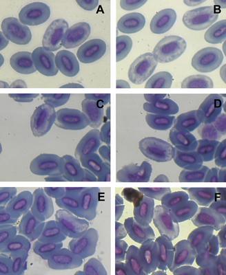 Haemoproteus aegithinae