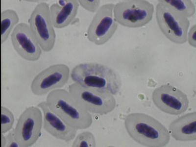 Haemoproteus handai