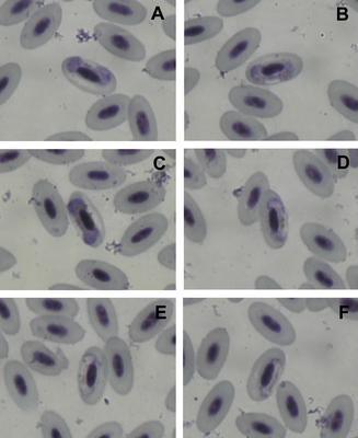Haemoproteus coatneyi
