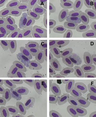 Haemoproteus nipponensis