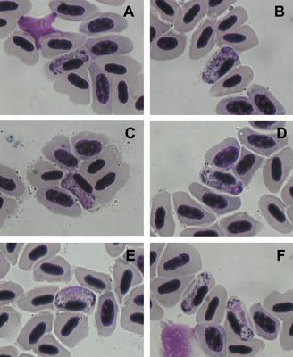 Haemoproteus balmorali
