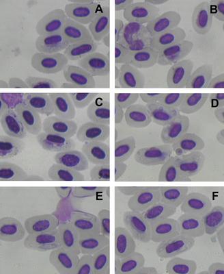 Haemoproteus monarchus