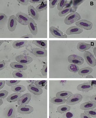 Haemoproteus clamatori