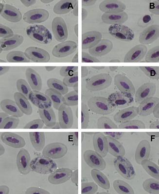 Haemoproteus cracidarum