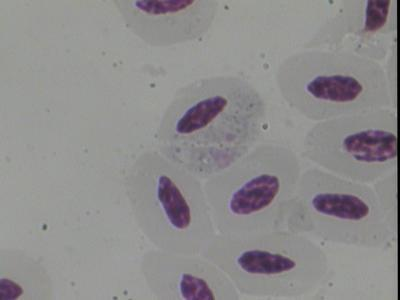 Haemoproteus antigonis