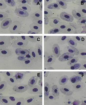 Haemoproteus danilewskii