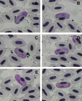 Haemoproteus halcyonis