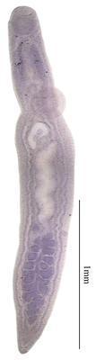 Uterotrema australispinosa