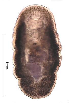 Diplocreadium tsontso