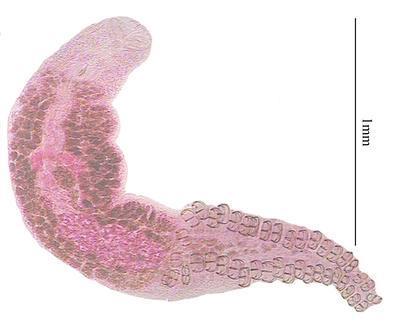 Polylabris queenslandensis