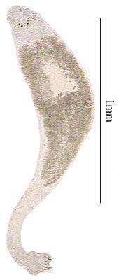 Monoplectanum youngi