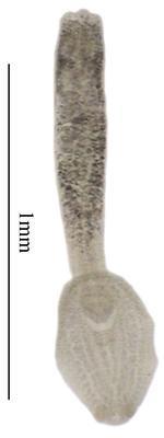 Subuvulifer glandulaxiculus