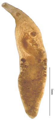 Lasiotocus cacuminatus