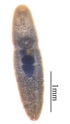 Neoapocreadium splendens