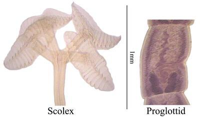 Rhinebothrium pearsoni