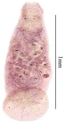 Monocotyle multiparous
