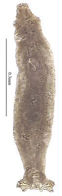 Calydiscoides nemipteris