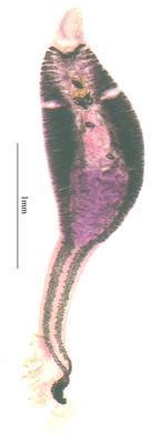 Chimaericola ogilbyi