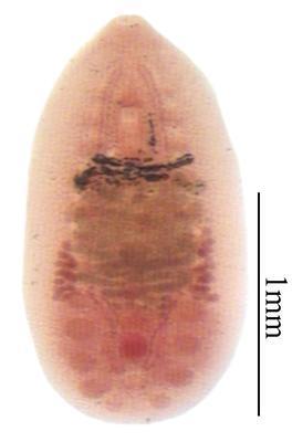 Notocotylus johnstoni