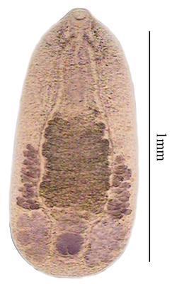 Catatropis nicolli
