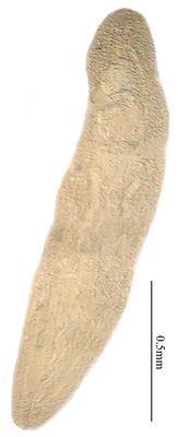 Pearsonellum corventum