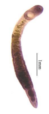 Brachylaima sandarsae