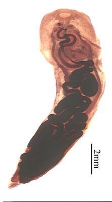 Hydrophitrema gigantica