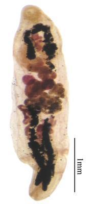 Sterrhurus carpentariae
