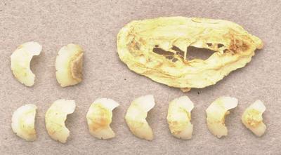 Acanthochitona sphenorhynchus