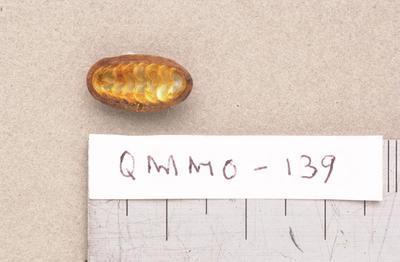 Thiara balonnensis