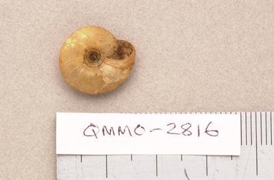 Trochomorpha nigrans cornea