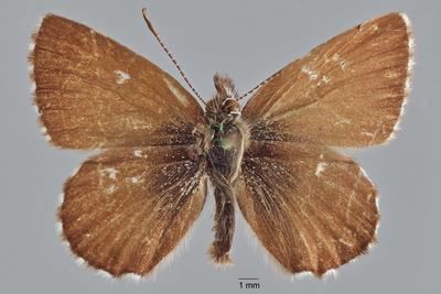 Neolucia hobartensis hobartensis