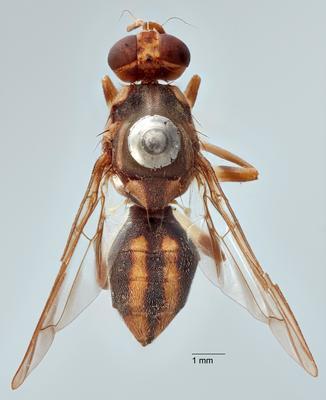 Bactrocera (Hemisurstylus) melanoscutata