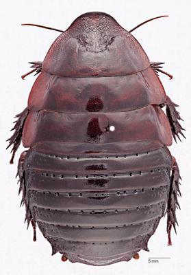 Macropanesthia lineopunctata