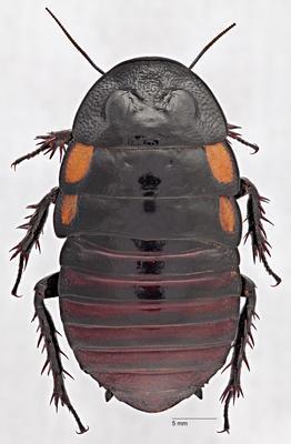 Macropanesthia spuritegmina