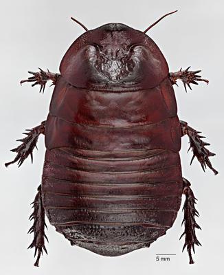 Macropanesthia mutica