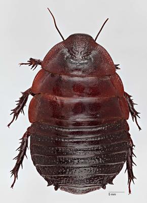 Macropanesthia intermorpha