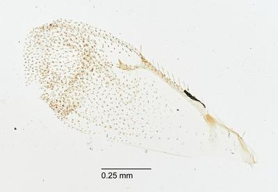 Tetrastichodes consobrinus