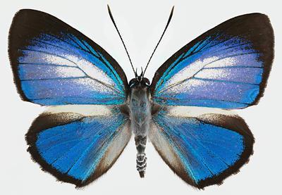 Hypochrysops theon johnsoni