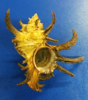 Chicoreus cornucervi