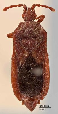 Arbanatus peninsularis
