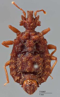 Aegisocoris granulatus