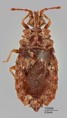 Carventus australis