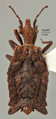 Chelonoderus forfex