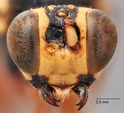 Hackerocryptus dentatus