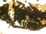 Fascaplysinopsis 1842