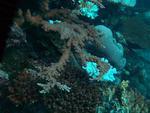 Acropora abrotanoides