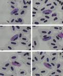 Haemoproteus dicaeus