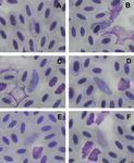 Haemoproteus lairdi